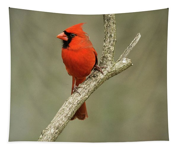 Male Cardinal Looking On Longingly Tapestry