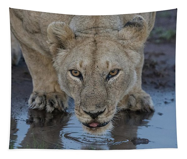 Lioness Drinking Tapestry