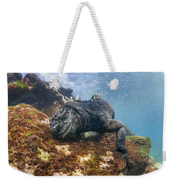Marine Iguana Feeding On Algae Punta Weekender Tote Bag