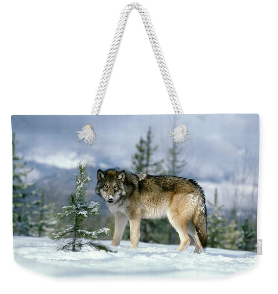 Gray Wolf Canis Lupus In Winter Snow Weekender Tote Bag