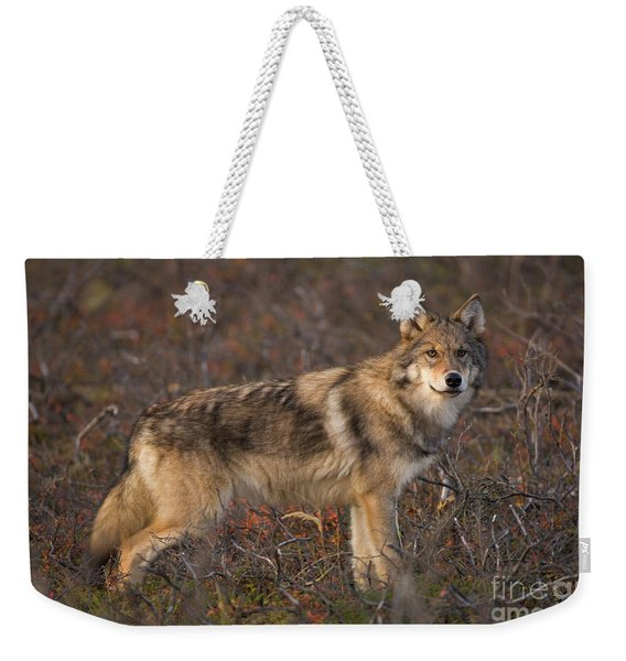 Gray Wolf On Tundra In Denali Weekender Tote Bag