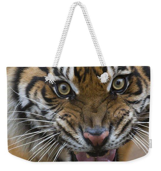 Sumatran Tiger Male Snarling Native Weekender Tote Bag
