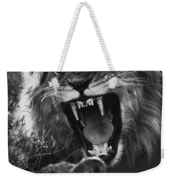 A Male Lion Roars Over His Mate Weekender Tote Bag