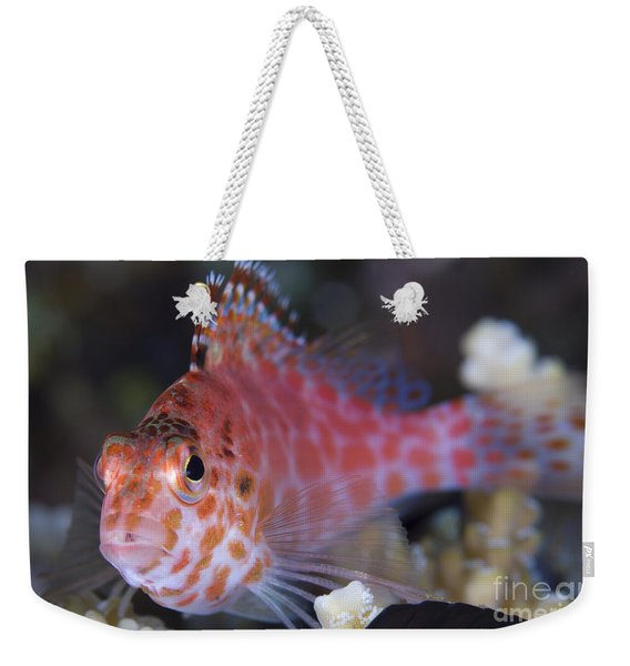 Pixy Hawkfish, Kimbe Bay, Papua New Weekender Tote Bag