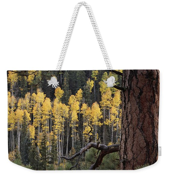A Ponderosa Pine Tree Among Aspen Trees Weekender Tote Bag