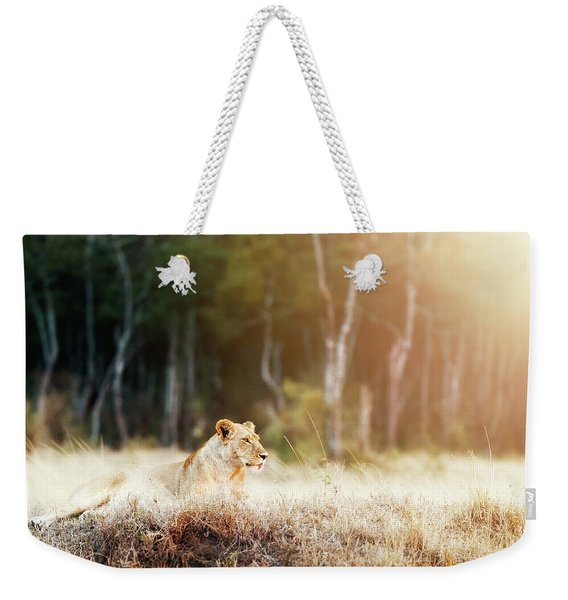 Lioness In Morning Sunlight After Breakfast Weekender Tote Bag