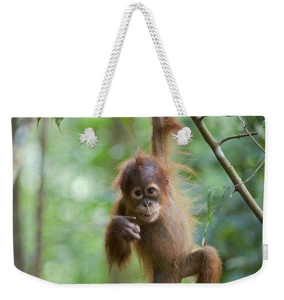 Sumatran Orangutan Pongo Abelii One Weekender Tote Bag