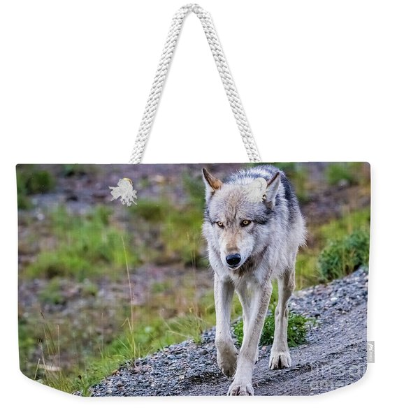Grey Wolf In Denali National Park, Alaska Weekender Tote Bag