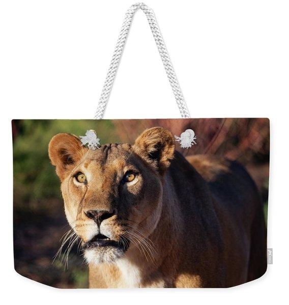 Lioness Looking Up Weekender Tote Bag