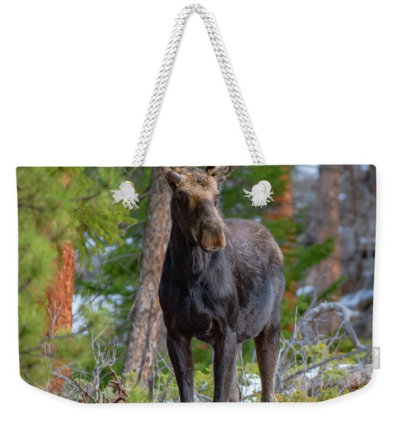 Young Moose In The Morning Forest Weekender Tote Bag