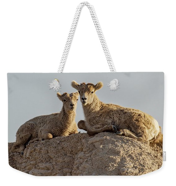 Young Mountain Sheep In Badlands National Park Weekender Tote Bag