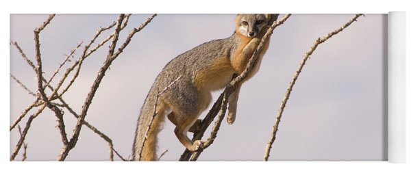 A Gray Fox In An Ocotillo Plant Looking Yoga Mat