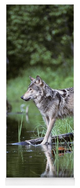 Adult Gray Timber Wolf Canis Lupus Yoga Mat