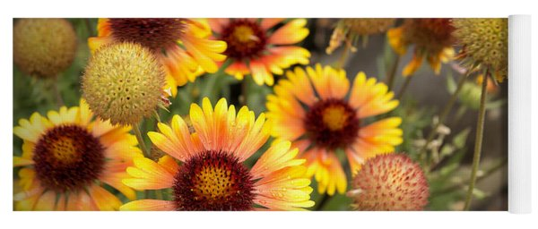 Yoga Mat featuring the photograph Blanket Flowers  by Belinda Greb