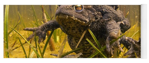 Yoga Mat featuring the photograph European Toad Pair Mating Noord-holland by Jan Smit