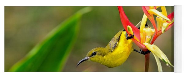 Female Olive Backed Sunbird Clings To Heliconia Plant Flower Singapore Yoga Mat