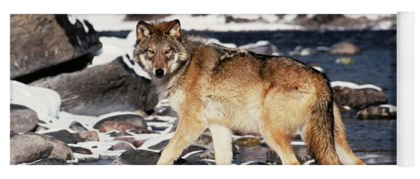 Gray Wolf Canis Lupus By Winter Stream Yoga Mat