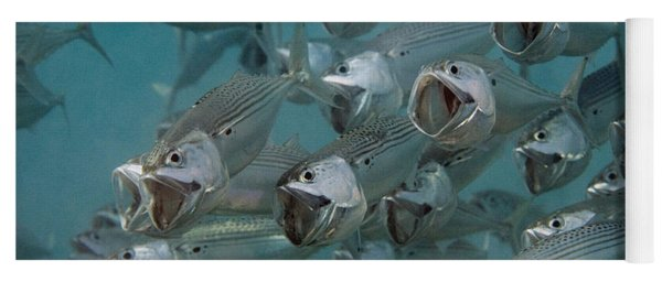 Long-jawed Mackerel Foraging Red Sea Yoga Mat