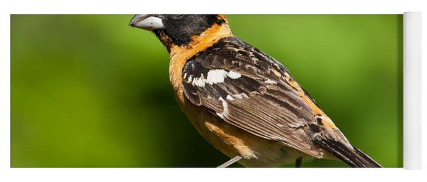 Male Black Headed Grosbeak In A Tree Yoga Mat