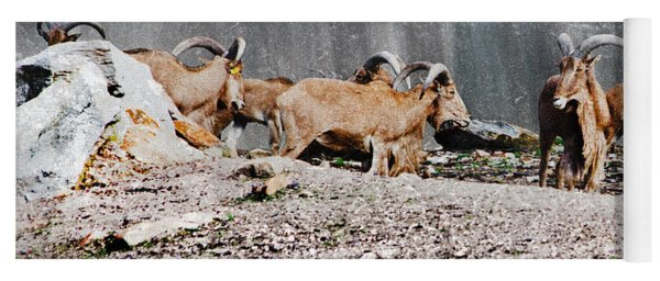Meeting Of Barbary Sheep Yoga Mat