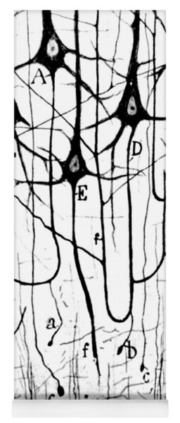 Pyramidal Cells Illustrated By Cajal Yoga Mat