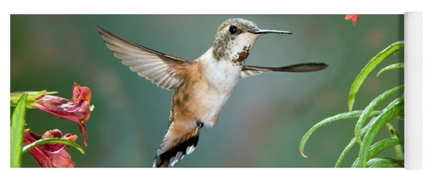 Rufous Hummingbird Female At Monkey Yoga Mat