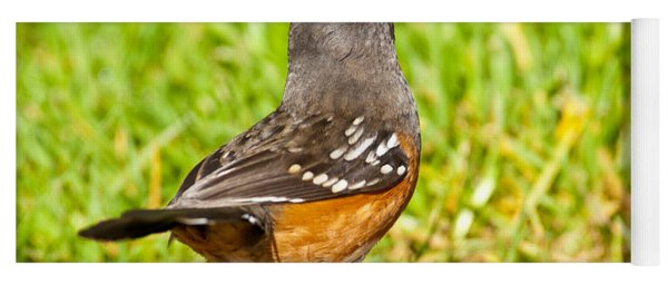 Spotted Towhee Looking Up Yoga Mat