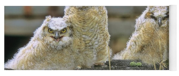 Three Great-horned Owl Chicks Yoga Mat