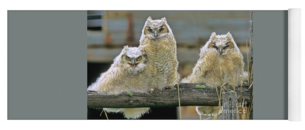 Yoga Mat featuring the photograph Three Great-horned Owl Chicks by Gary Beeler