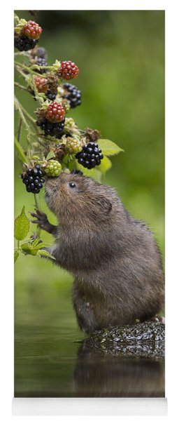 Water Vole Eating Blackberries Kent Uk Yoga Mat