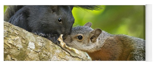 Wild Red-bellied Squirrels Interacting Yoga Mat