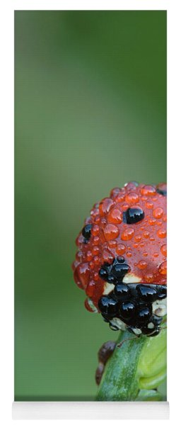 Seven-spotted Lady Beetle On Grass With Dew Yoga Mat