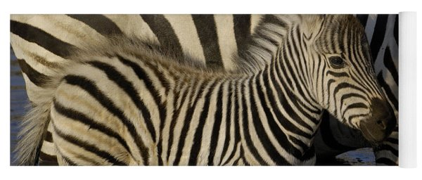Burchells Zebra Equus Burchellii Foal Yoga Mat