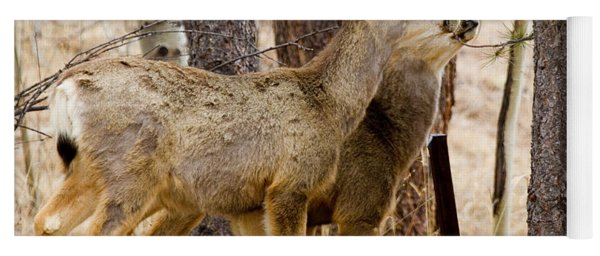 Mule Deer In The Pike National Forest Of Colorado Yoga Mat