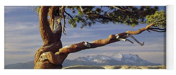1m6701 Historic Jeffrey Pine Sentinel Dome Yosemite Yoga Mat