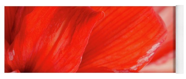 Amaryllis Fade Red Amaryllis Flower Subtly Fading Into A White Background Yoga Mat