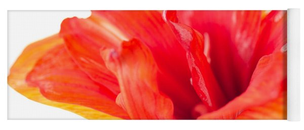 Amaryllis Paper Red Amaryllis Flower Backlit Crisp Paper Petals Isolated On White Yoga Mat
