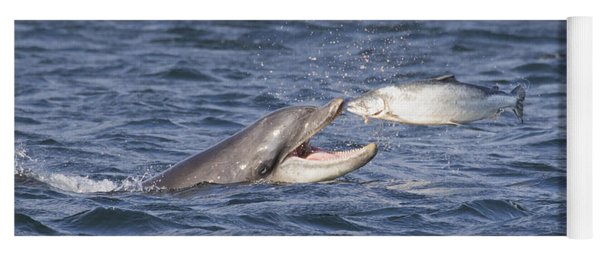 Bottlenose Dolphin Eating Salmon - Scotland  #36 Yoga Mat
