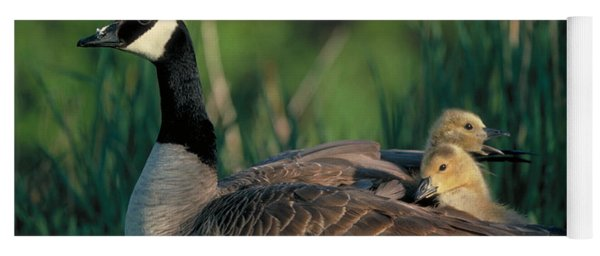 Canada Goose With Goslings Yoga Mat
