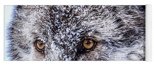 Canadian Grey Wolf In Portrait, British Columbia, Canada Yoga Mat