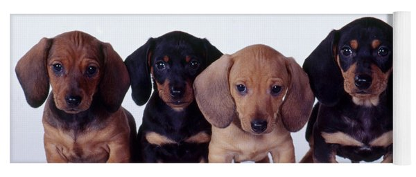 Dachshund Puppies  Yoga Mat