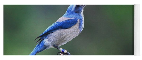 Florida Scrub Jay Eating Yoga Mat