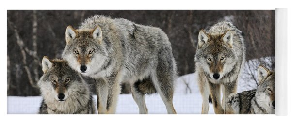 Gray Wolves Norway Yoga Mat