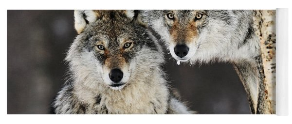Gray Wolf Canis Lupus Pair In The Snow Yoga Mat