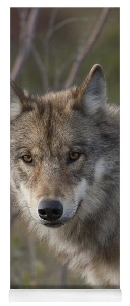 Yoga Mat featuring the photograph Gray Wolf Canis Lupus Portrait, Alaska by Michael Quinton