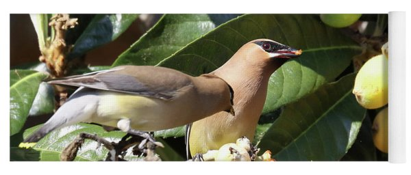 Yoga Mat featuring the photograph Hungry Cedar Waxwings by Eyes4Nature