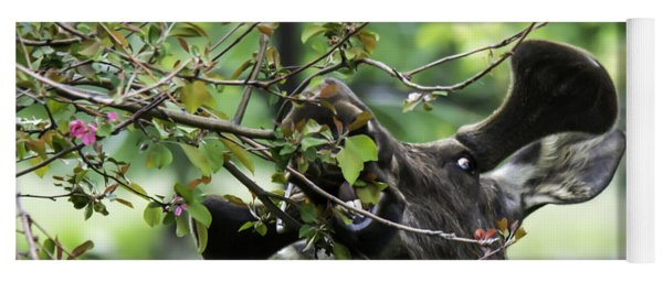 Yoga Mat featuring the photograph Moose Eating Crab Apple Tree by Gary Beeler