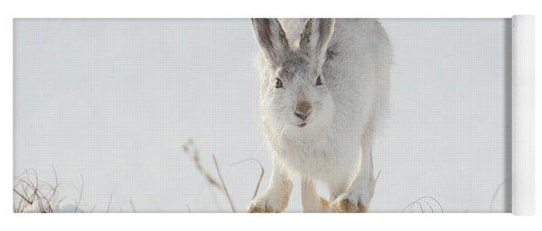Mountain Hare Approaching Yoga Mat