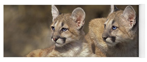 Yoga Mat featuring the photograph Mountain Lion Cubs On Rock Outcrop by Dave Welling