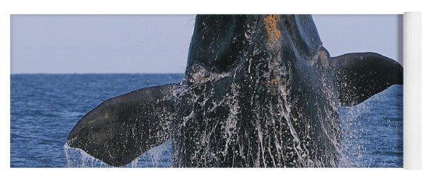 North Atlantic Right Whale Breaching Yoga Mat